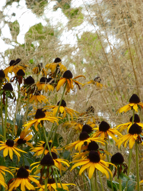 Judi Castille Rudbeckia and grasses