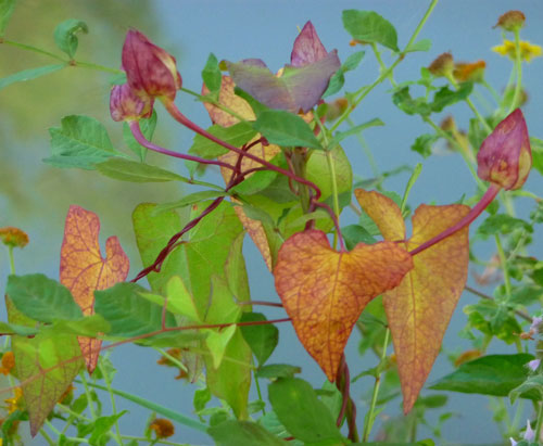 Judi Castille photography - Ivy-colour-burst500