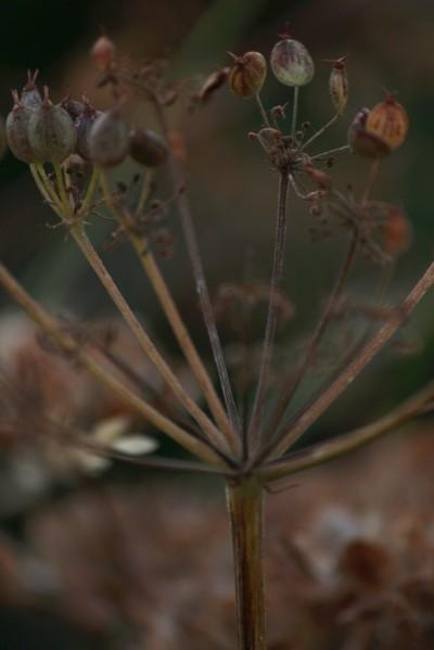 Judi Castille flower sead head
