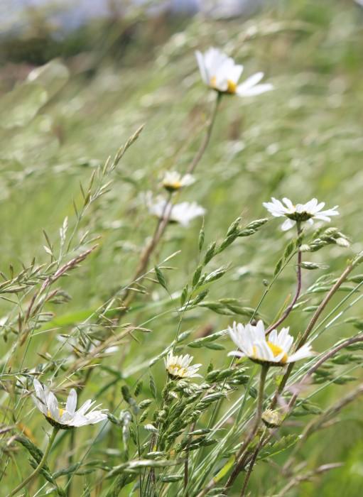 Judi Castille daisy fields