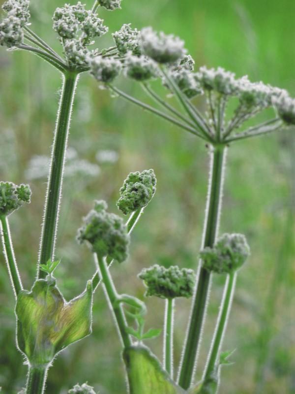 Judi castille Hemlock plant