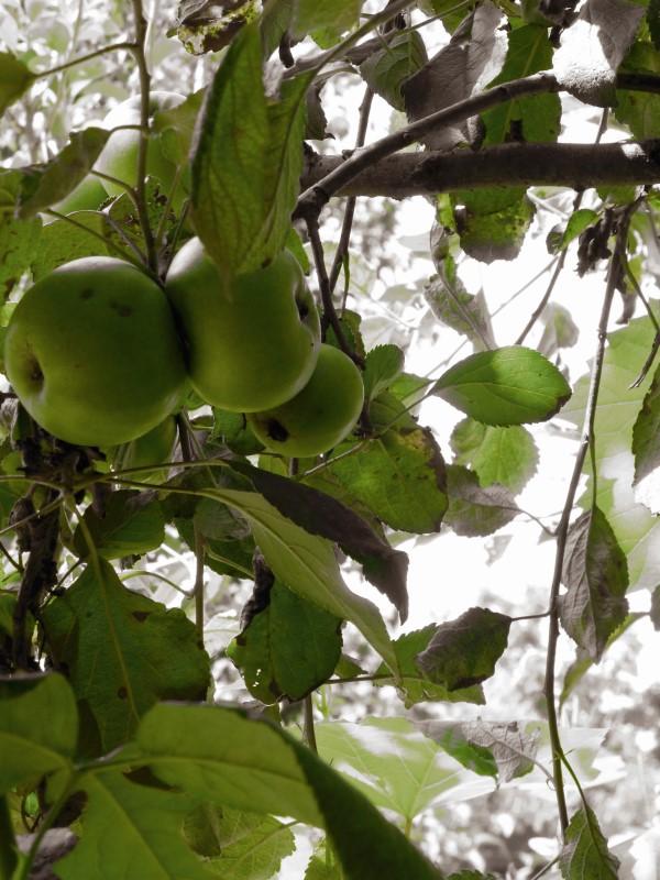 Judi Castille Apple Orchard