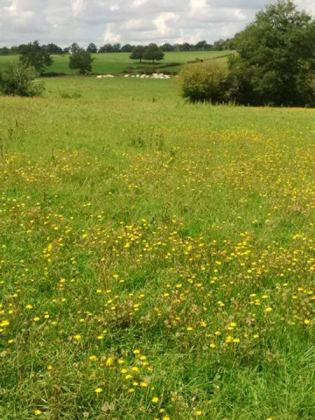 Judi castille wild buttercup flower meadows in France