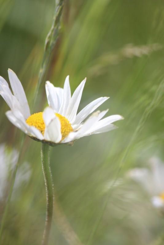 Judi Castille Wild daisy