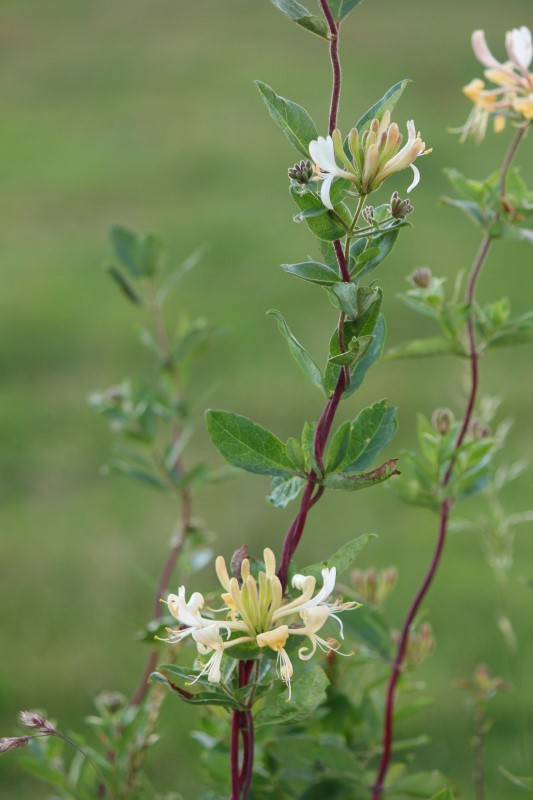 Judi Castille Honeysuckle hedgerow