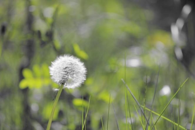 Judi Castille Lone Dandelion