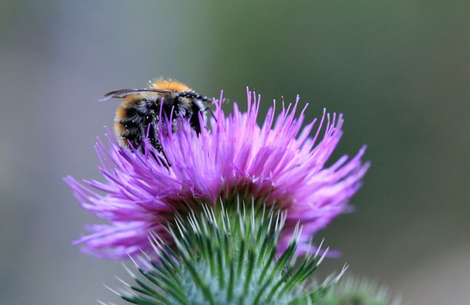 Judi Castille Bumble Bee in Scottish Thistle