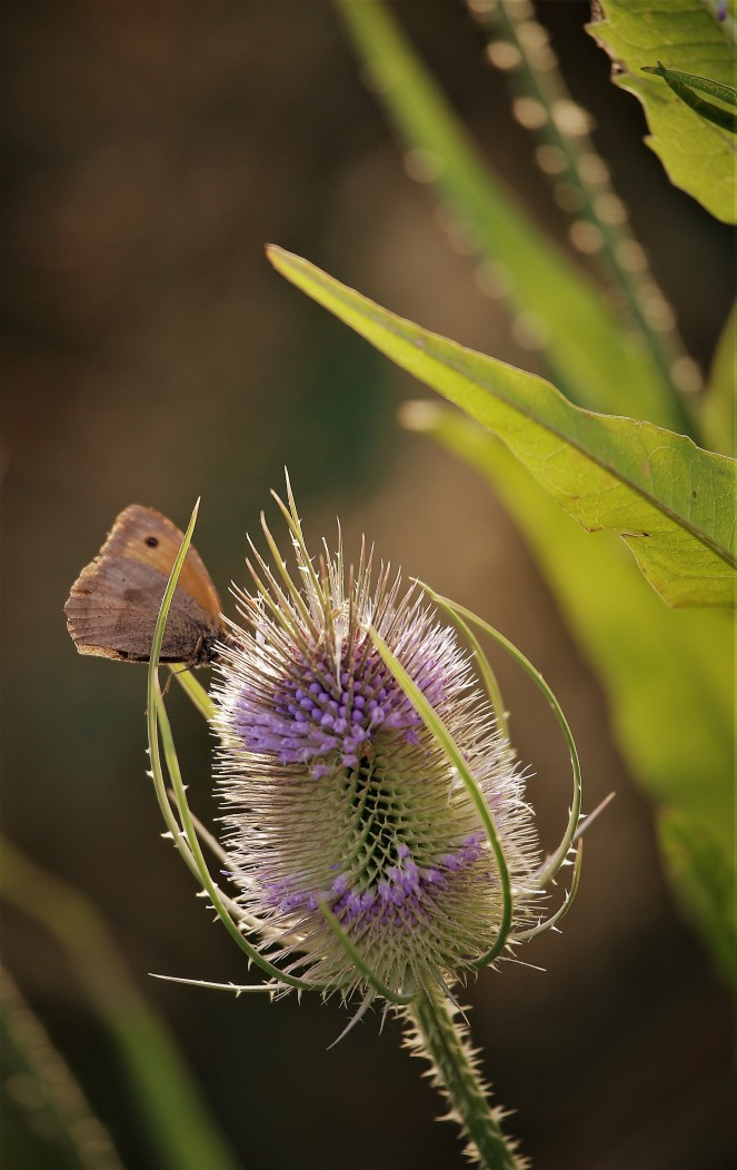Judi Castille Butterfly teazel