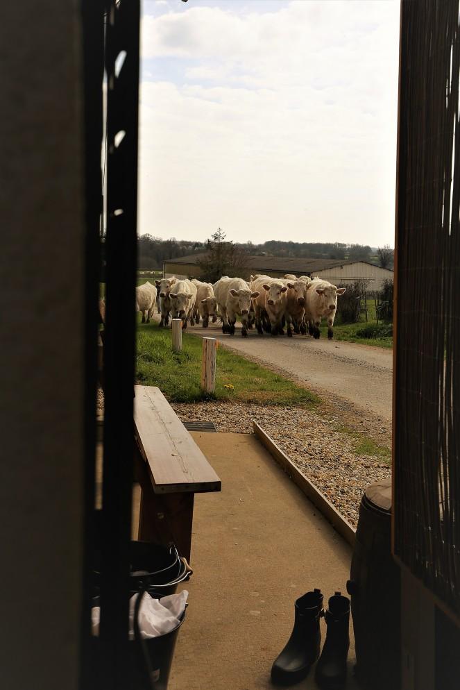 Judi Castille Cattle herding
