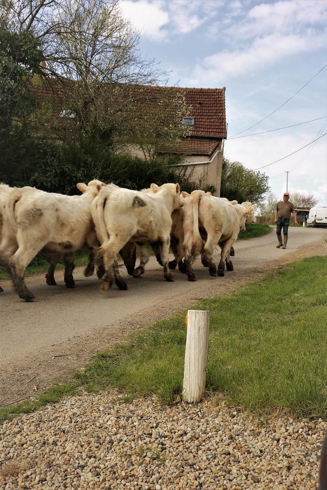 Judi Castille moving the herd