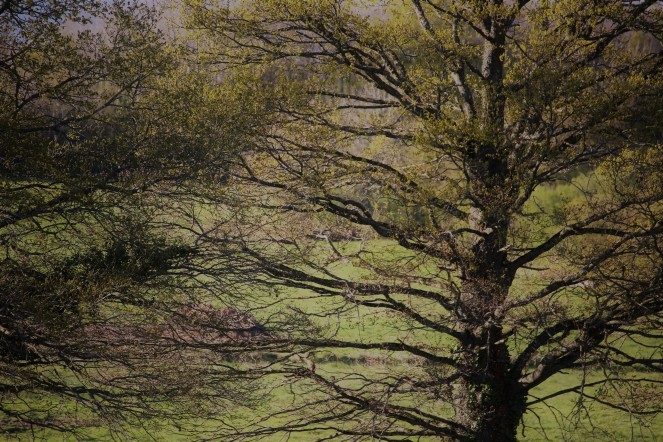 Judi Castille Trees in spring 2