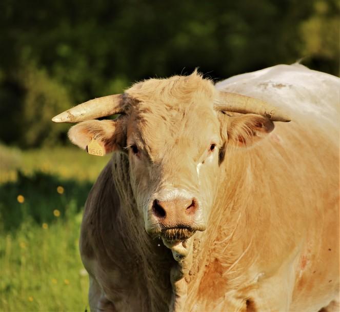 Judi Castille Mr Bull portrait