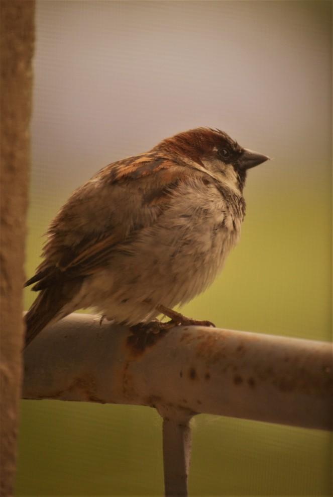 Judi Castille Curious Sparrow