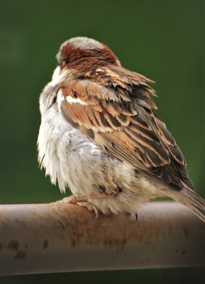 Judi Castille Fluffy sparrow