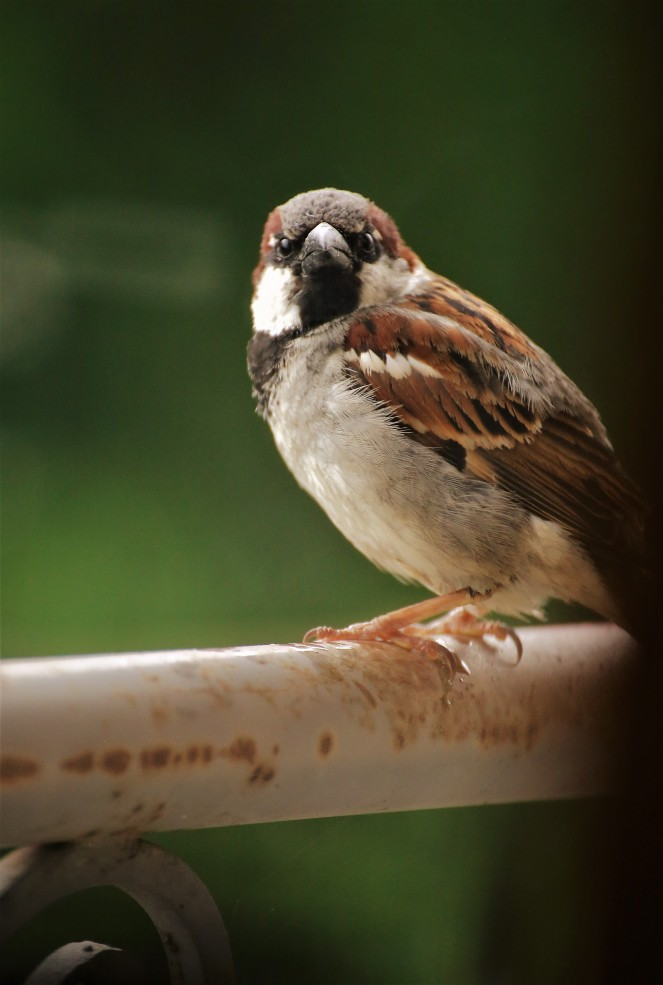 Judi Castille Little Sparrow