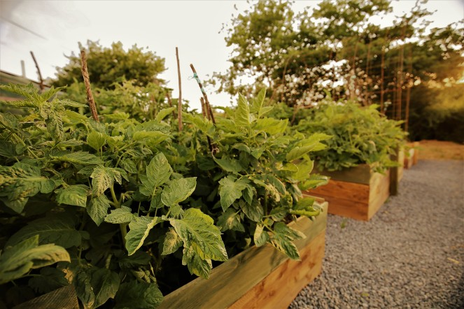 Judi Castille Tomato raised beds