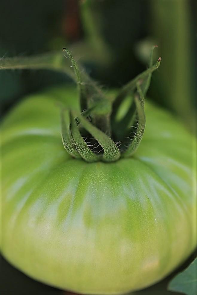 Judi-Castille-Home-grown-tomato