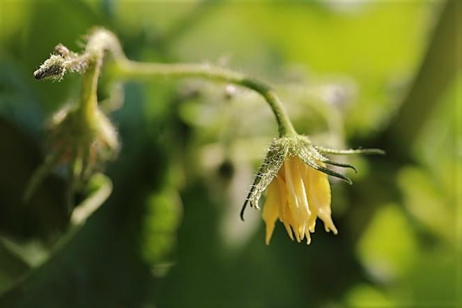 Judi-Castille-Tomato-flower