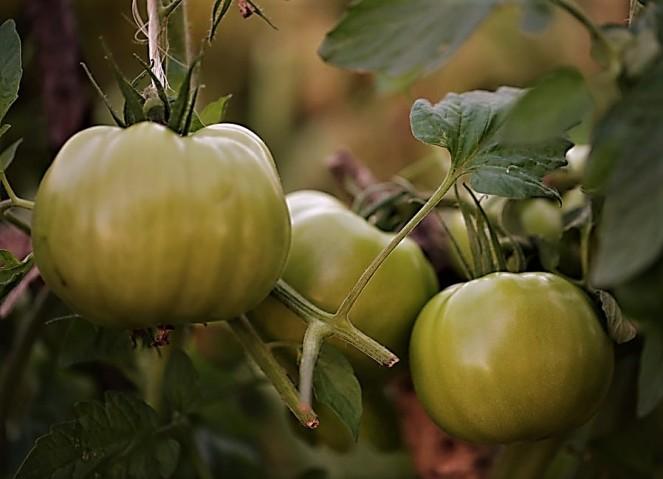 Judi-Castille-Tomatoes-in-my-garden