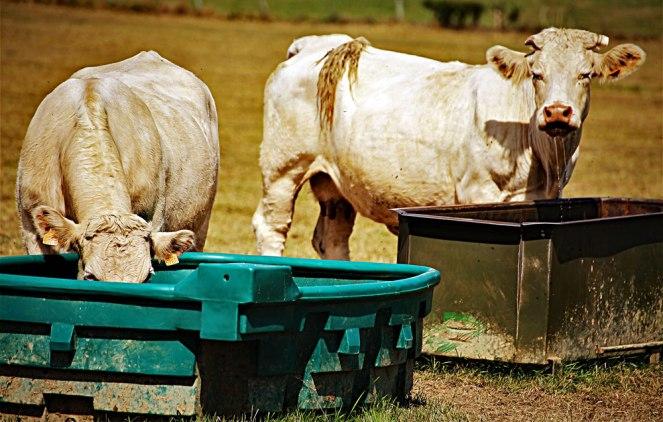 Judi-Castille-Cows-drinking