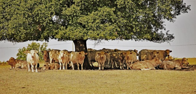 Judi-Castille-Cows-hiding-in-the-shade