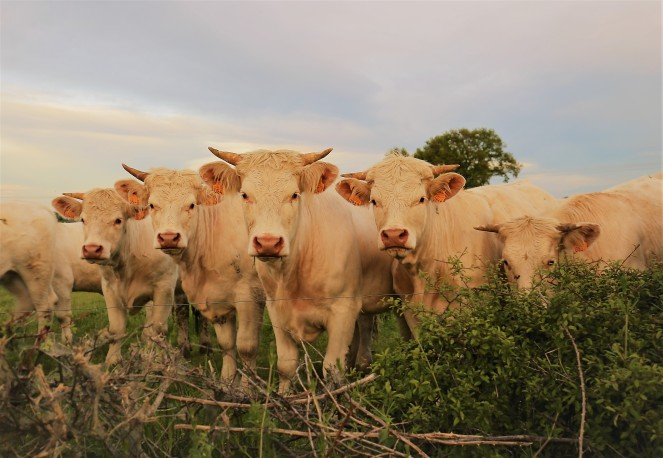 Judi Castille Curious Cows