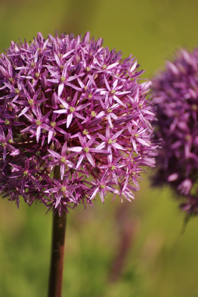 Judi Castille Chateau Du Rivau alliums