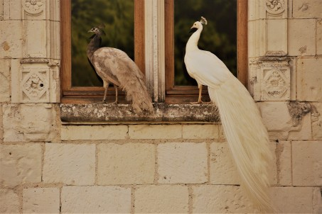 Judi Castille Chateau Du Rivau Peacocks