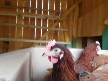 Judi Castille Chickens arriving in box.jpg