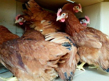 Judi Castille Delivery Rhode Island Red chickens.jpg
