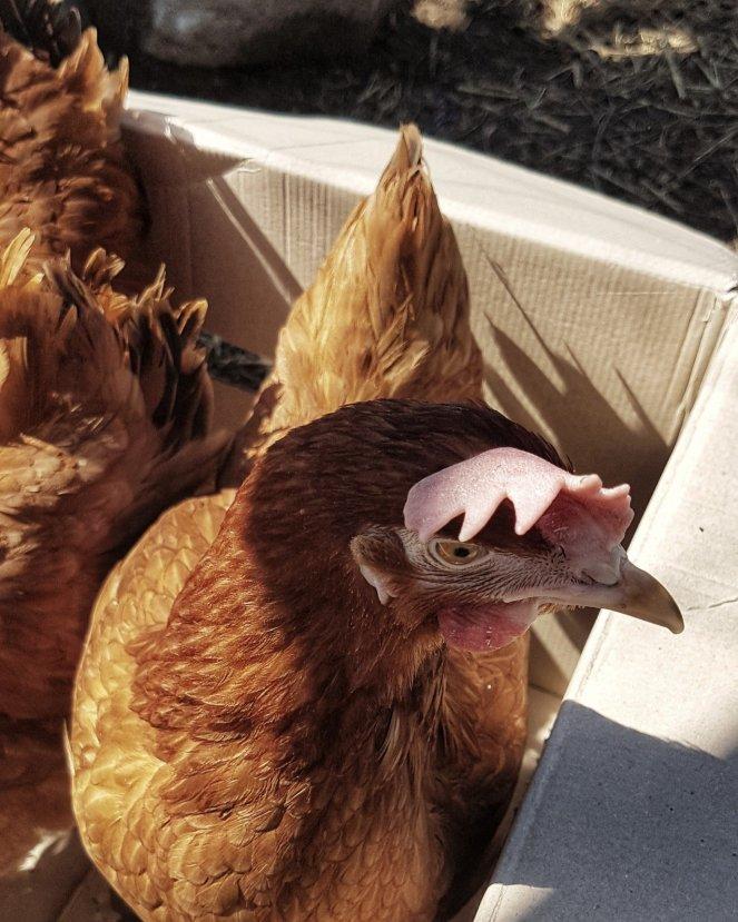 Judi Castille Eloise chicken floppy comb.jpg